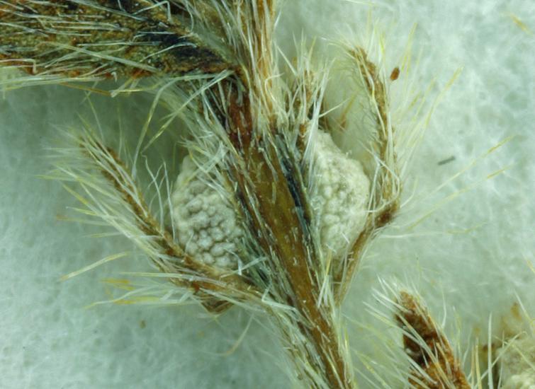 Plagiobothrys distantiflorus