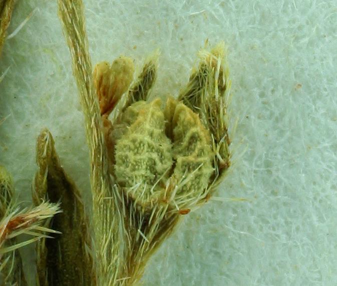 Plagiobothrys hispidulus