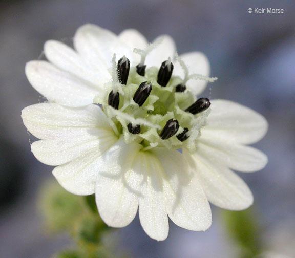 Blepharizonia laxa