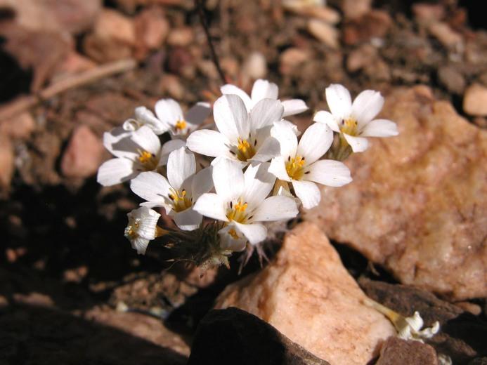Linanthus killipii