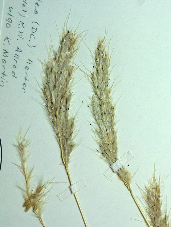 Bothriochloa laguroides ssp. torreyana