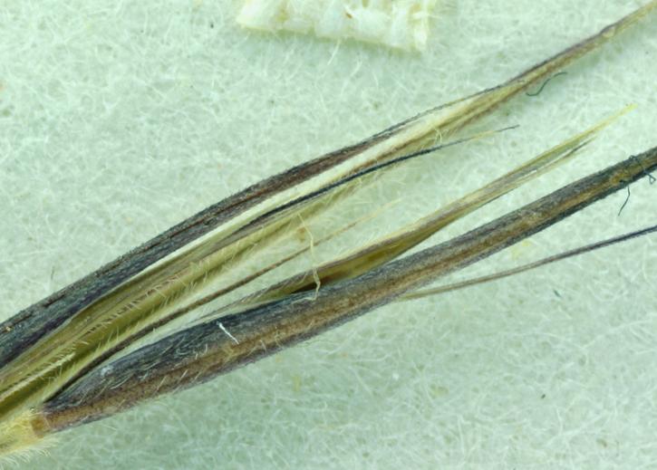 Bouteloua aristidoides var. aristidoides