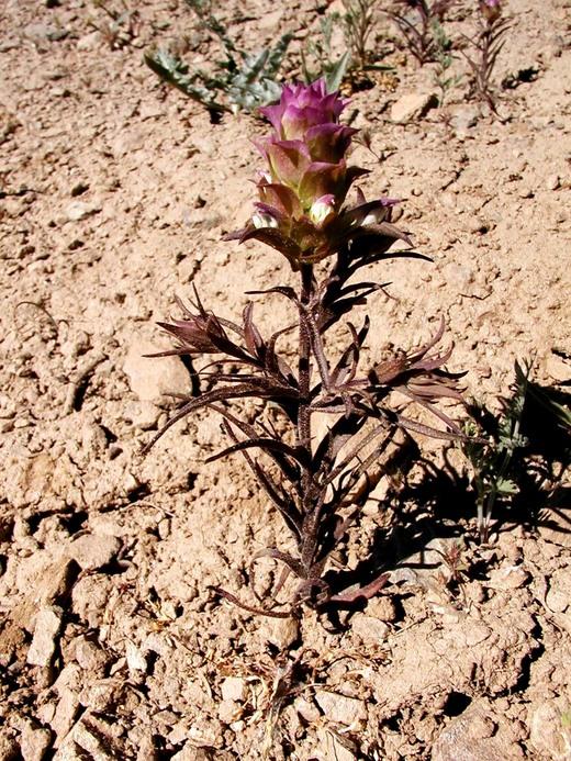 Orthocarpus cuspidatus ssp. cuspidatus