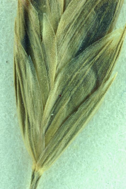 Bromus japonicus