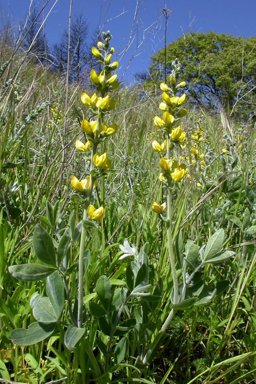 Thermopsis californica var. semota