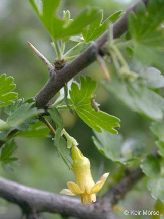 Ribes quercetorum