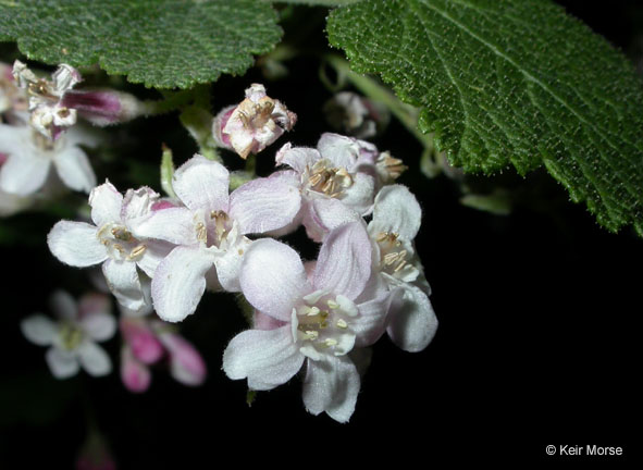 Ribes malvaceum var. viridifolium
