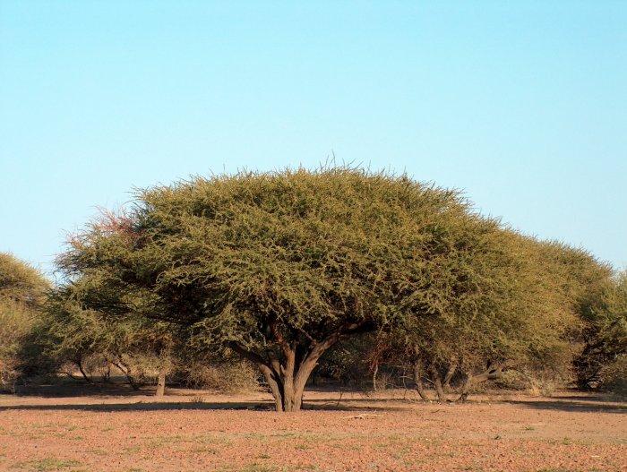 Vachellia tortilis (Umbrella thorn tree) (Acacia tortilis)