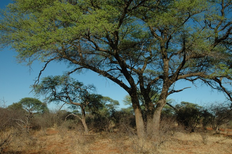 Acacia Burkei Black Monkey Thorn For Black Monkey Thorn
