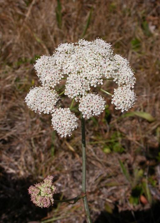 Perideridia gairdneri ssp. gairdneri