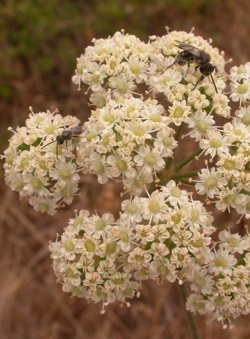 Perideridia kelloggii
