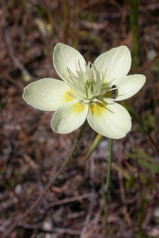 Platystemon californicus