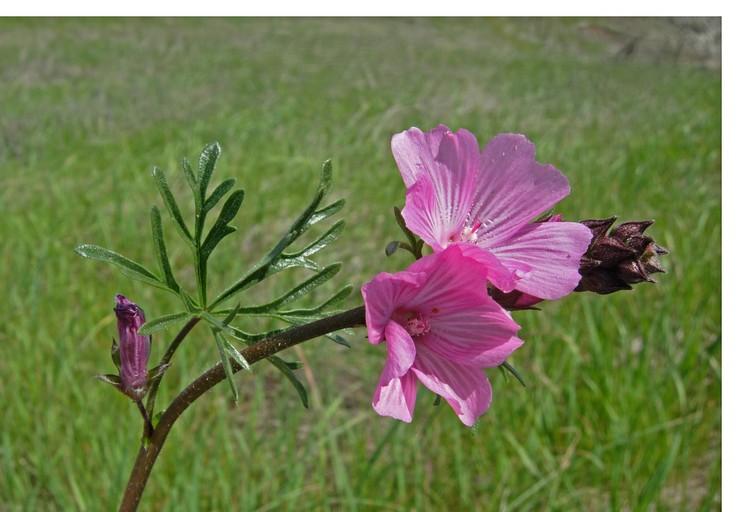 Sidalcea malviflora ssp. laciniata
