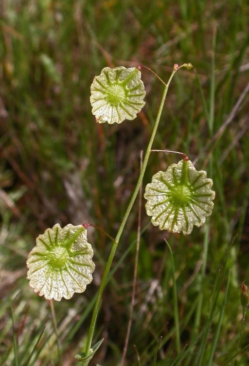 Thysanocarpus radians