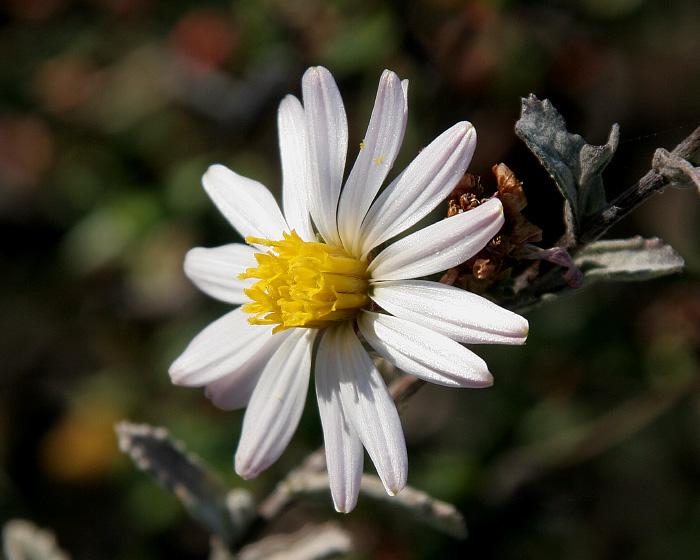 Corethrogyne filaginifolia