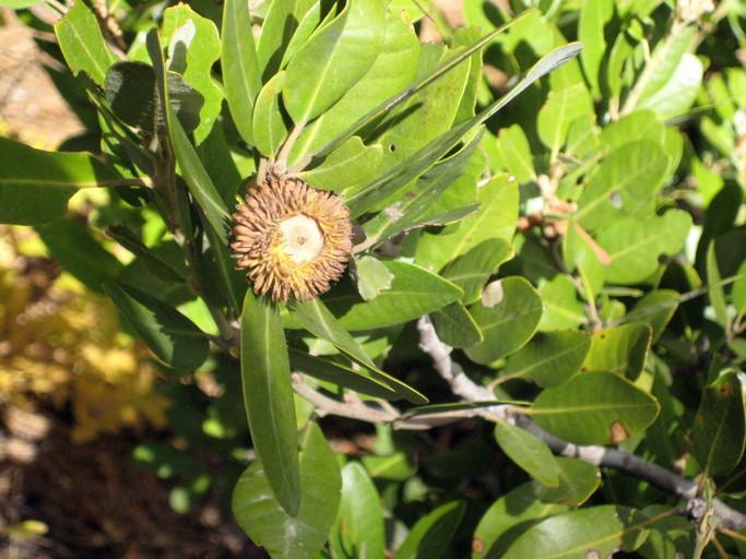 Notholithocarpus densiflorus var. echinoides