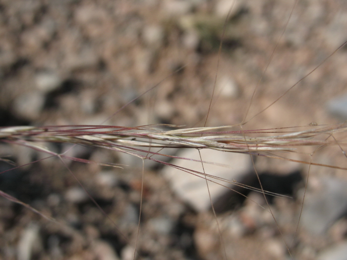 Aristida purpurea