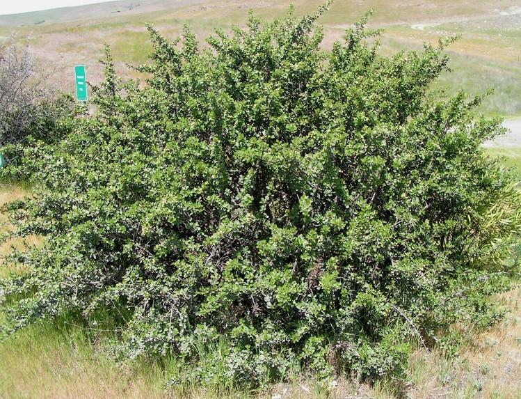 Ceanothus ferrisiae
