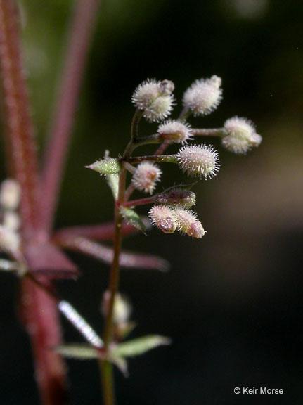 Galium parisiense