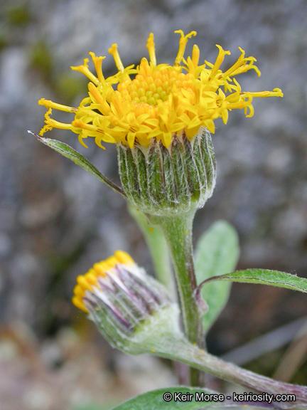 Cacaliopsis nardosmia