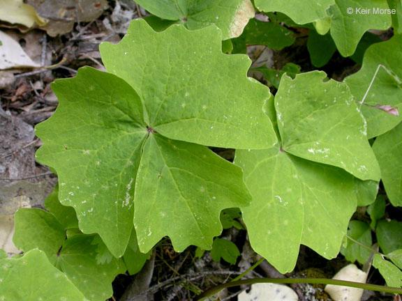 Achlys triphylla