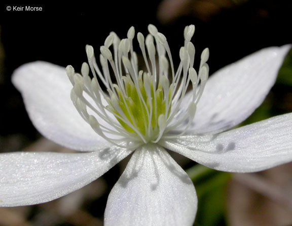 Anemone oregana