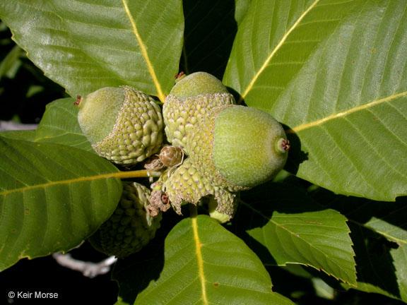 Quercus sadleriana