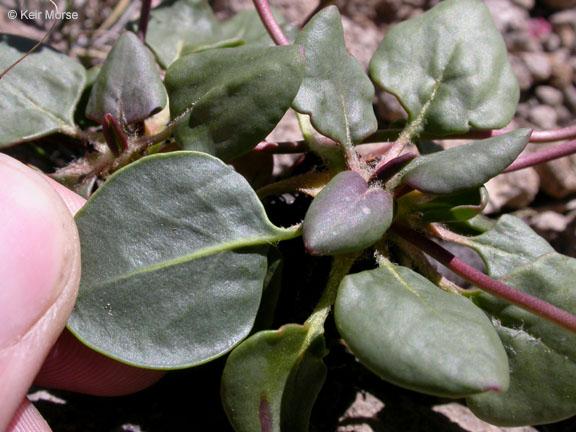 Eriogonum pyrolifolium var. pyrolifolium