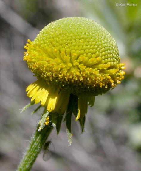 Helenium puberulum