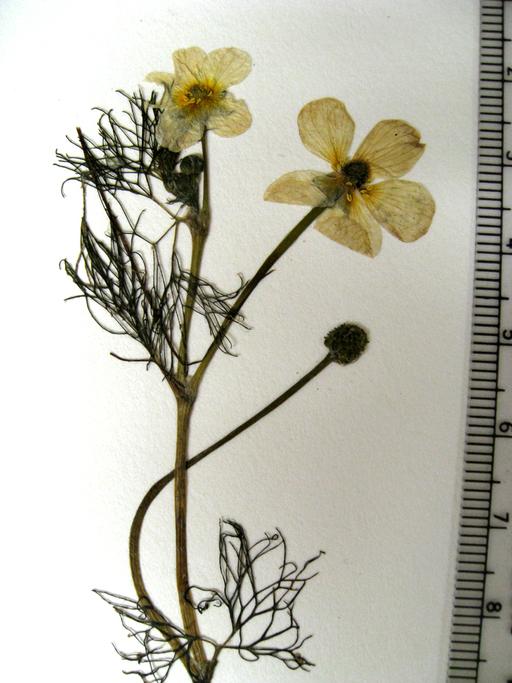 Ranunculus aquatilis var. subrigidus