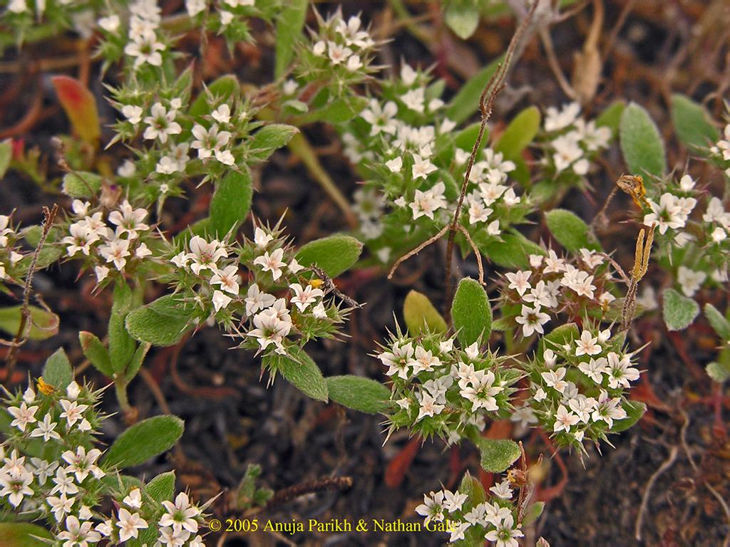 Chorizanthe parryi var. fernandina