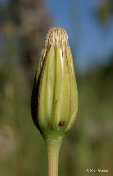 Stebbinsoseris heterocarpa