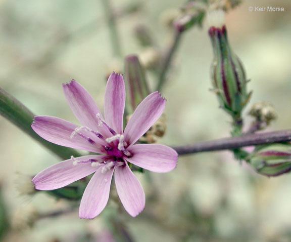 Stephanomeria virgata ssp. virgata