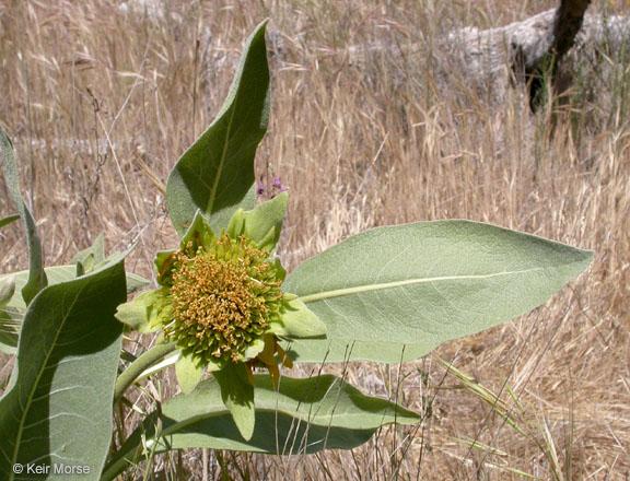 Wyethia helenioides