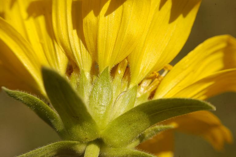 Balsamorhiza deltoidea