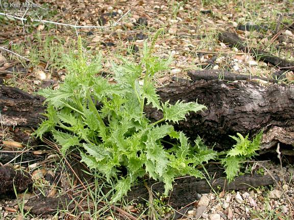 Chenopodium californicum