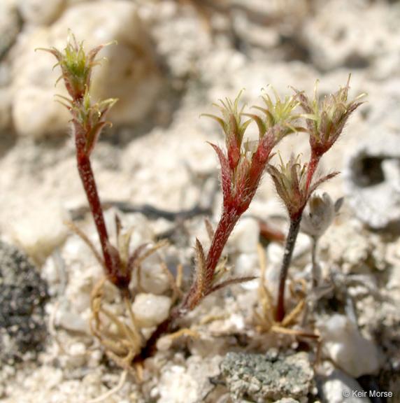 Lastarriaea coriacea