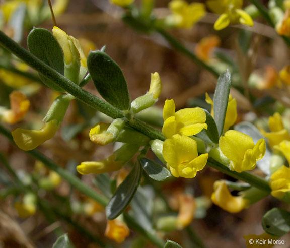 Acmispon procumbens var. procumbens