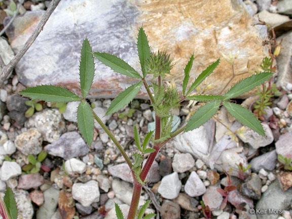 Trifolium obtusiflorum