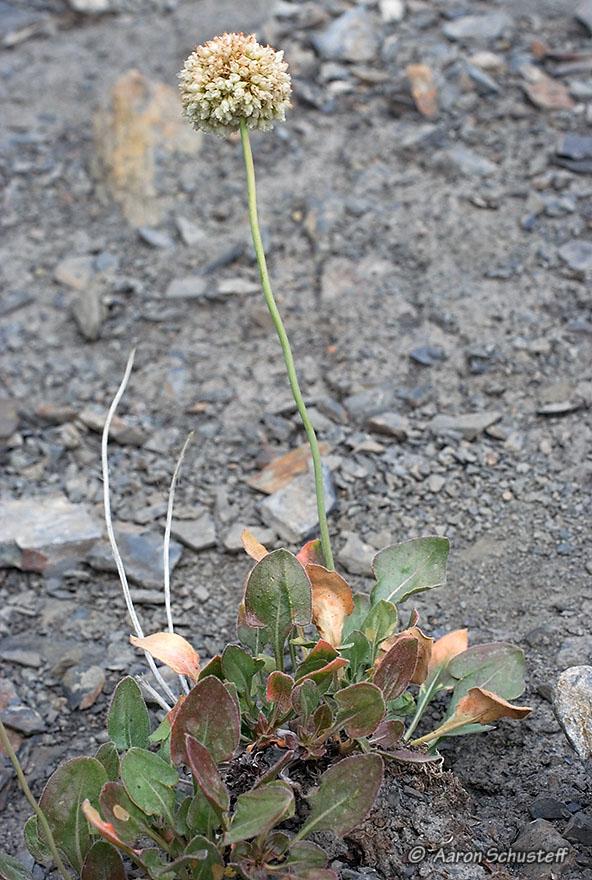 Eriogonum latens