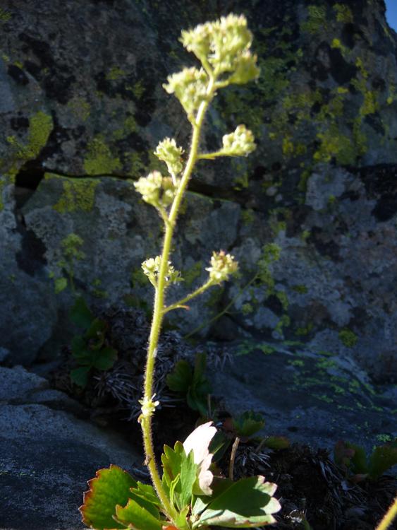 Saxifragopsis fragarioides