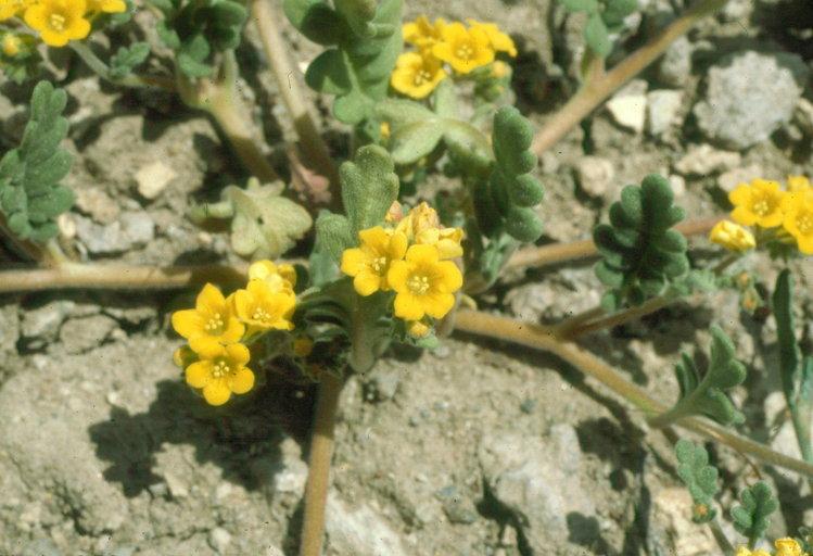 Phacelia adenophora