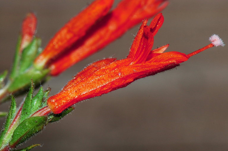 Epilobium canum ssp. garrettii