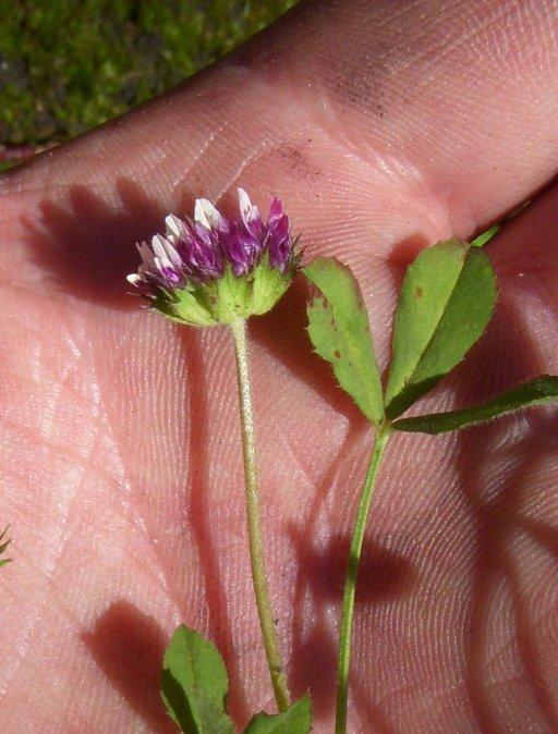 Trifolium barbigerum