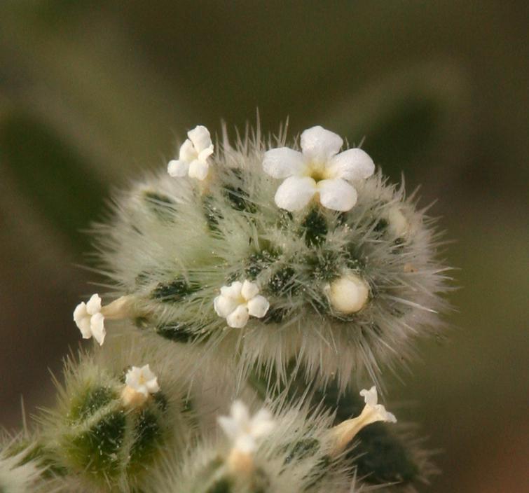 Cryptantha gracilis