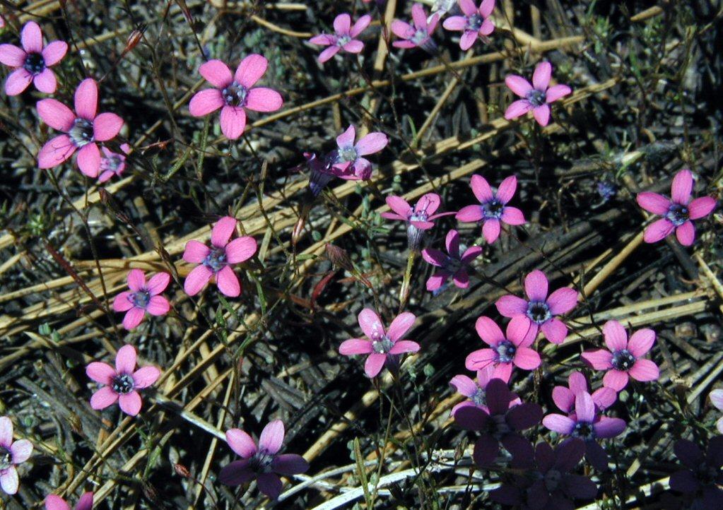 Navarretia leptalea ssp. leptalea