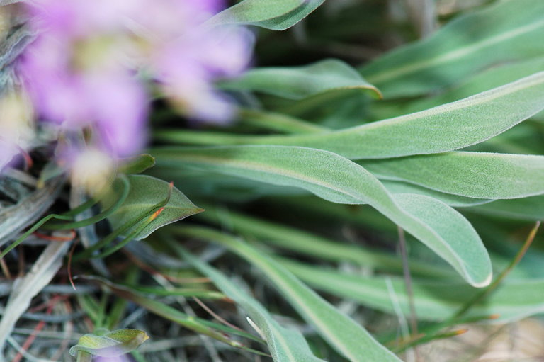 Phoenicaulis cheiranthoides