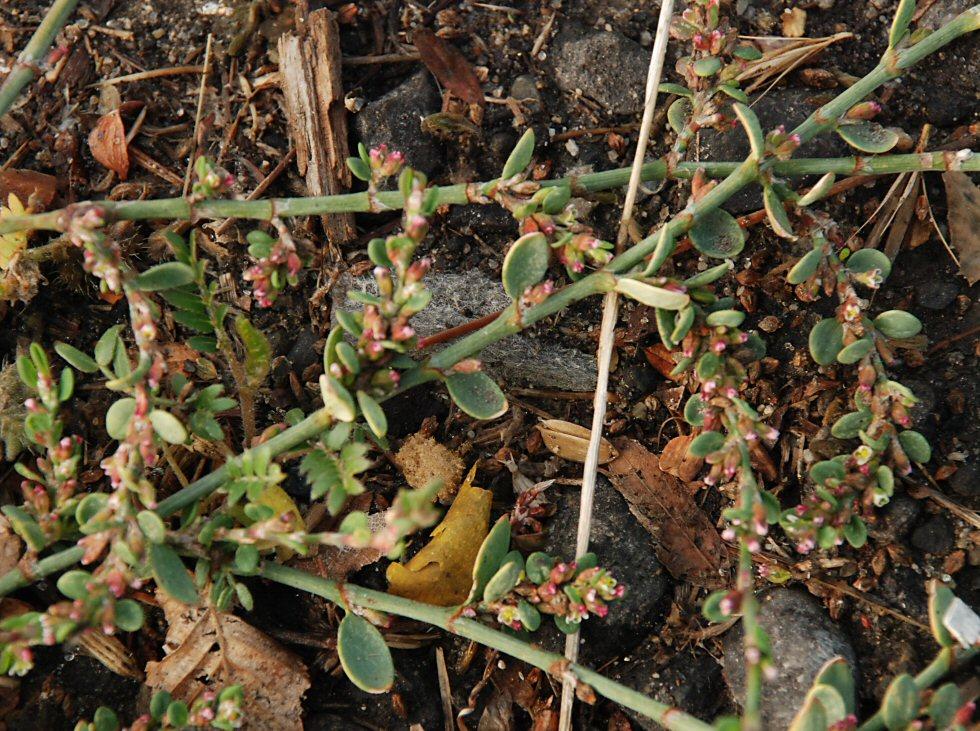 Polygonum aviculare ssp. depressum