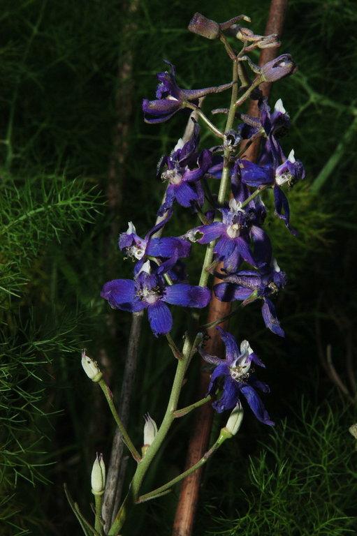 Delphinium parryi ssp. maritimum