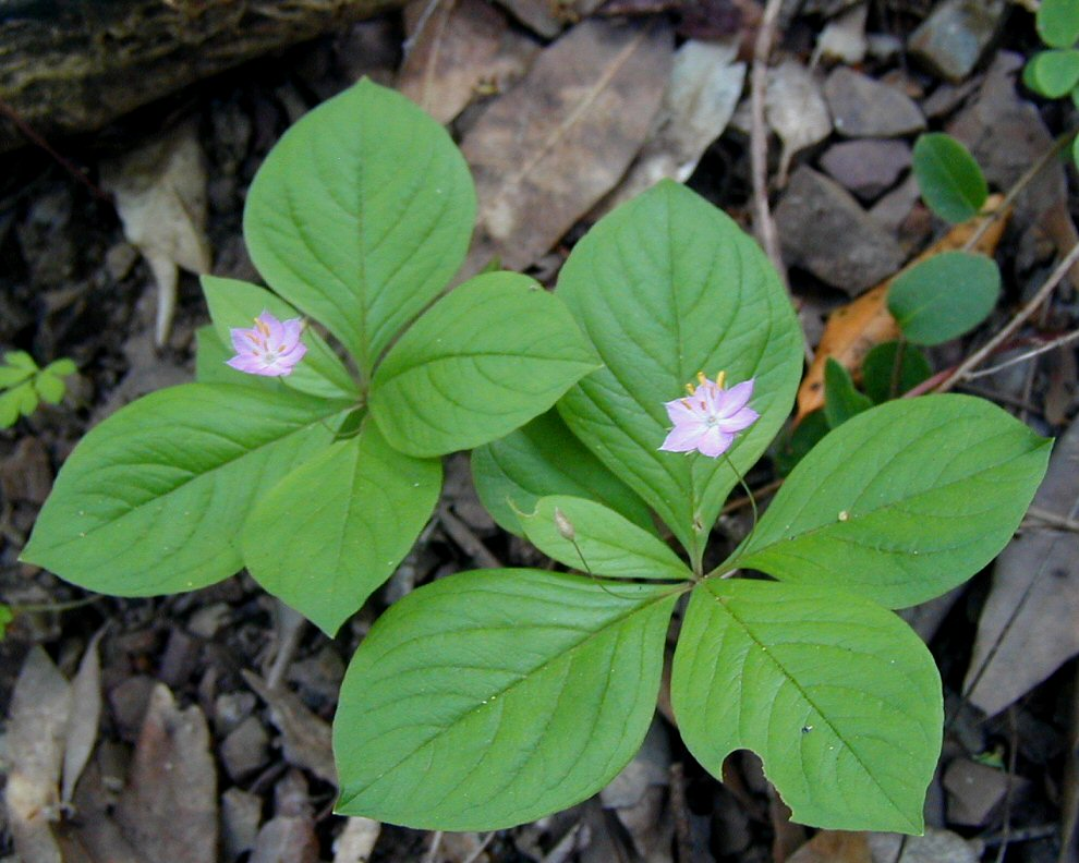 Trientalis latifolia